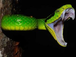 serpiente-fauces-abiertas-vifer3