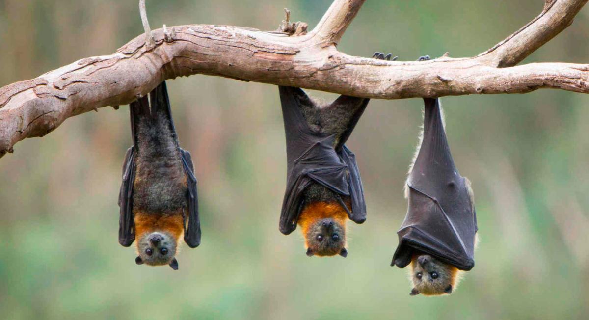 Menschengroße Fledermäuse