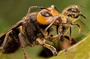 avispa-asiatica-vs-abeja